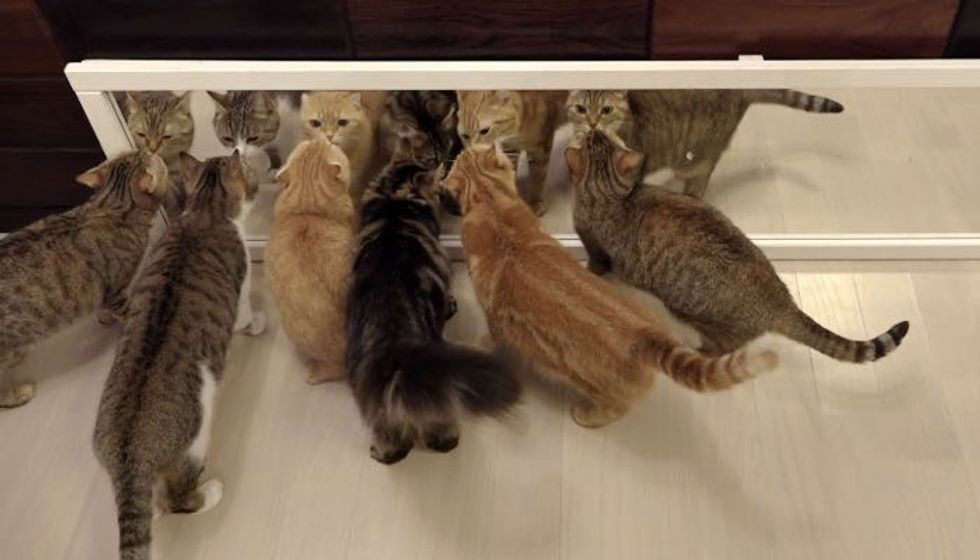 10 Cats but None React the Same Way to Their Own Reflection