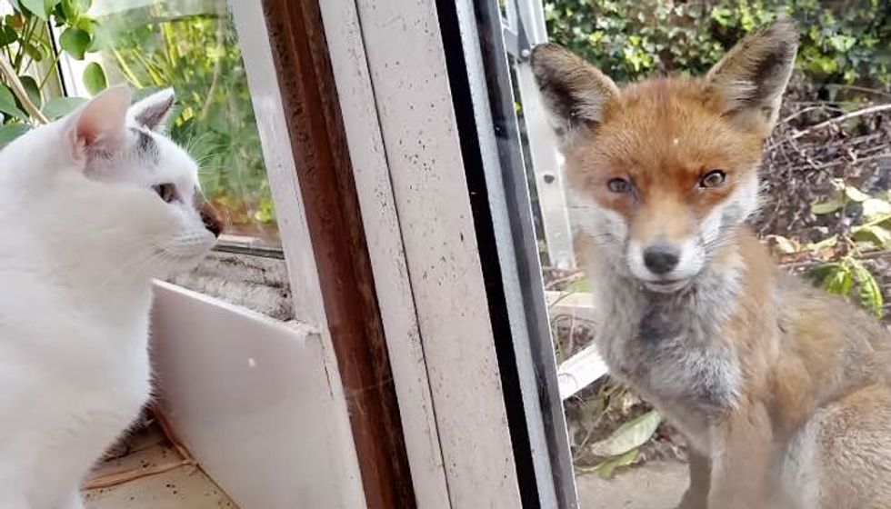 Cats and their Human Meet an Unexpected Visitor, a Wild Fox!