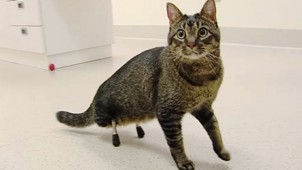 Cat Walks for the First Time Thanks to Pair of New Legs