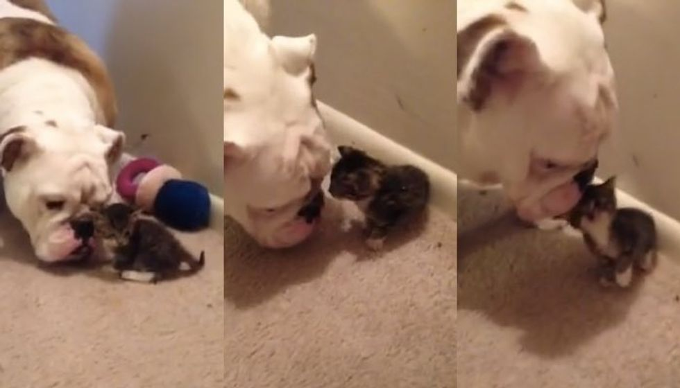Kitten Meets Bulldog for the First Time. It is Love at First Sight!
