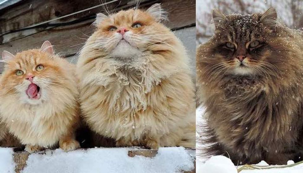 Every Winter these Siberian Cats Fluff Up and Play in Snow with their Human