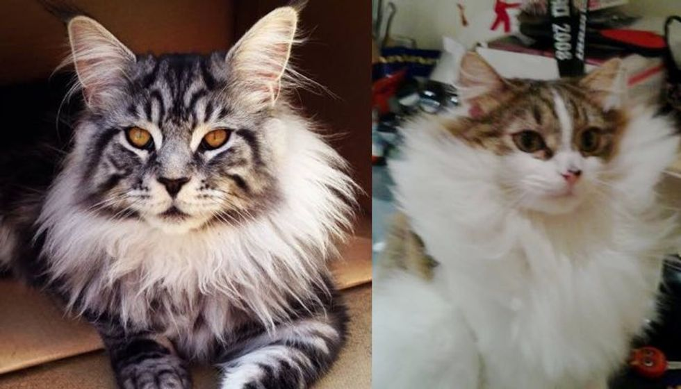 Cats Grow Magnificent Winter Manes. They May Just be Part Lion!