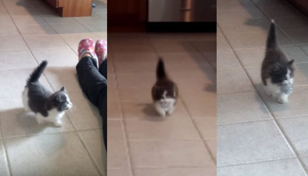 9 Week Old Kitten Teaches Human to Throw, He Fetches :)