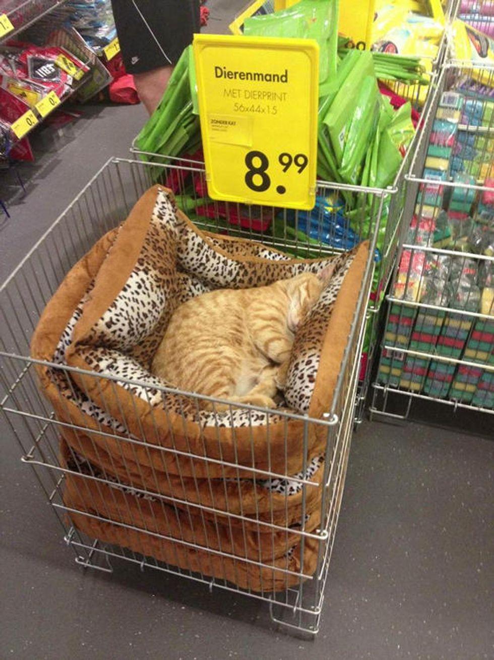 Cat Naps In Local Store