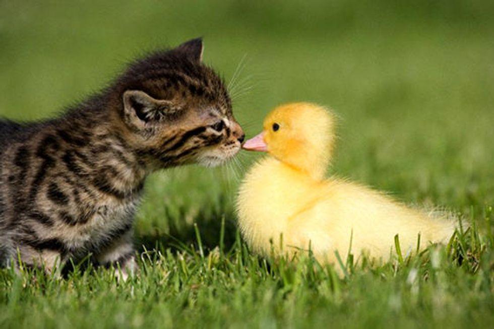 Kitten Befriends Duckling