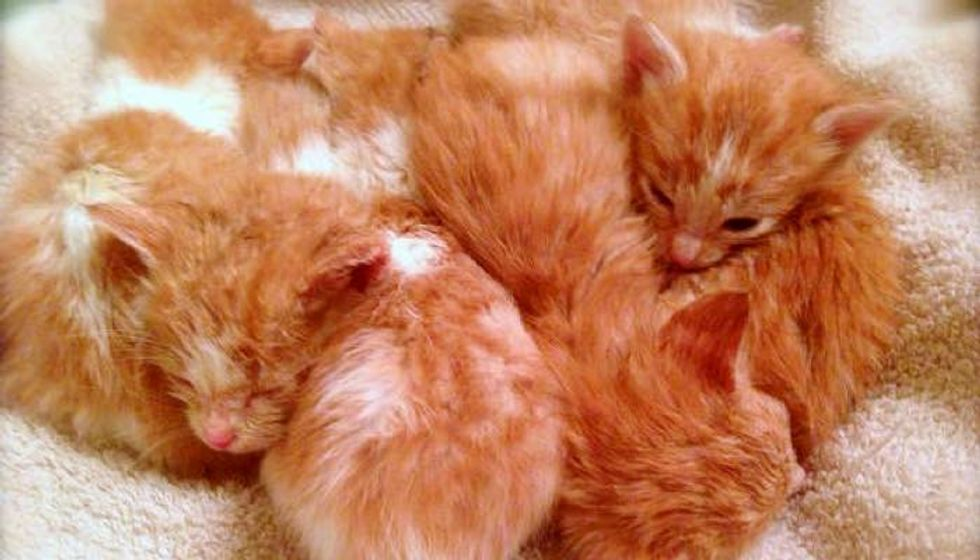 7 Motherless Ginger Kittens Given a Fighting Chance