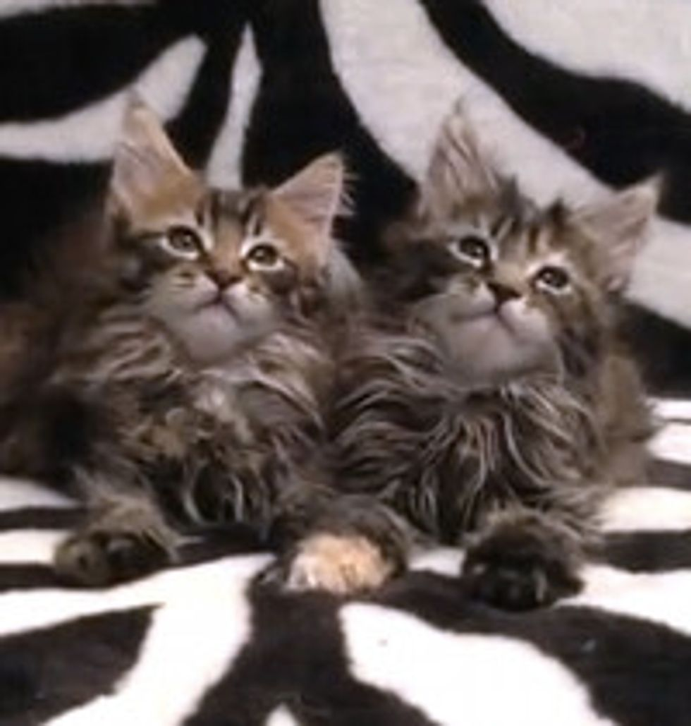 Almost Synchronized Maine Coon Kittens