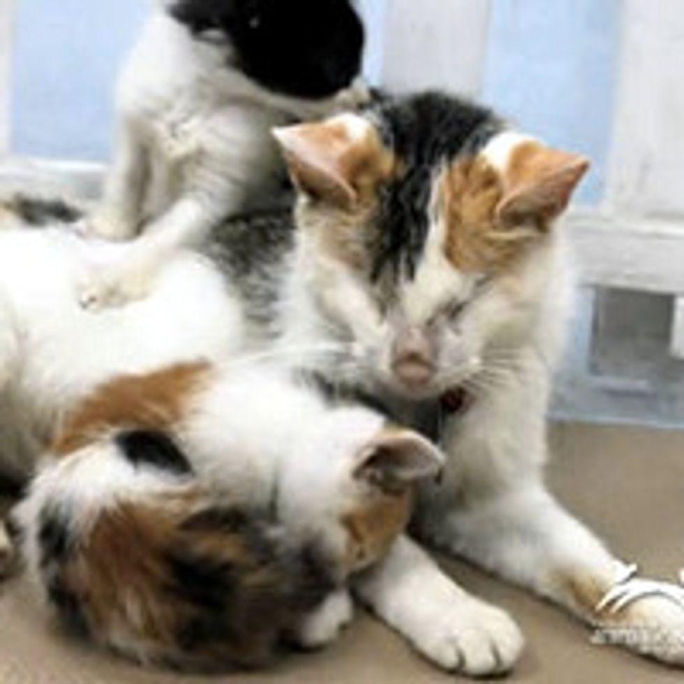 Blind Cat Mother Raises Her Kittens