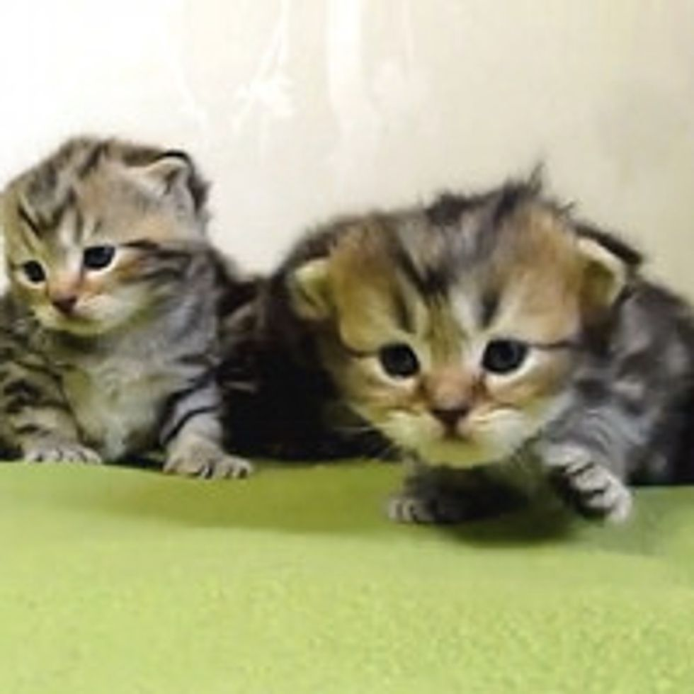 3 Week Old Kittens Learn To Walk
