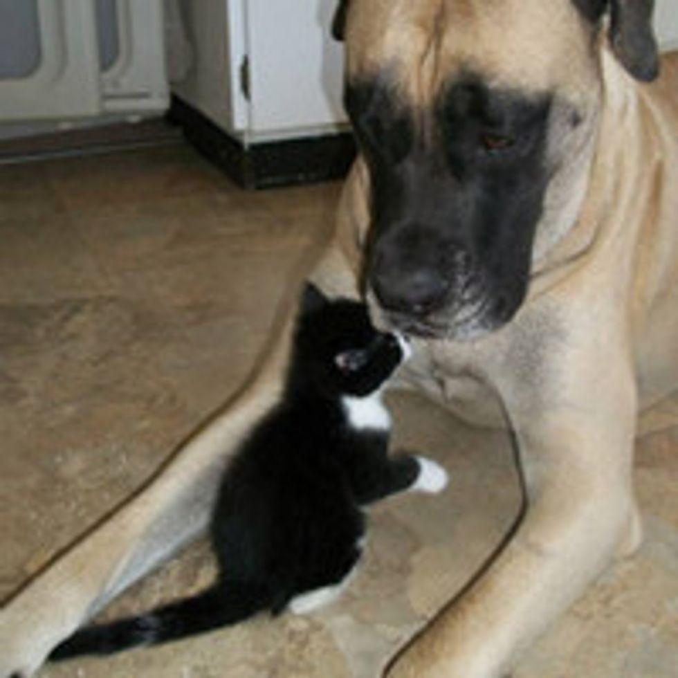 Dog Helps Raise Foster Kittens