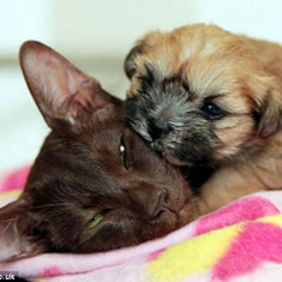 Siamese Cat Adopts Rejected Puppy