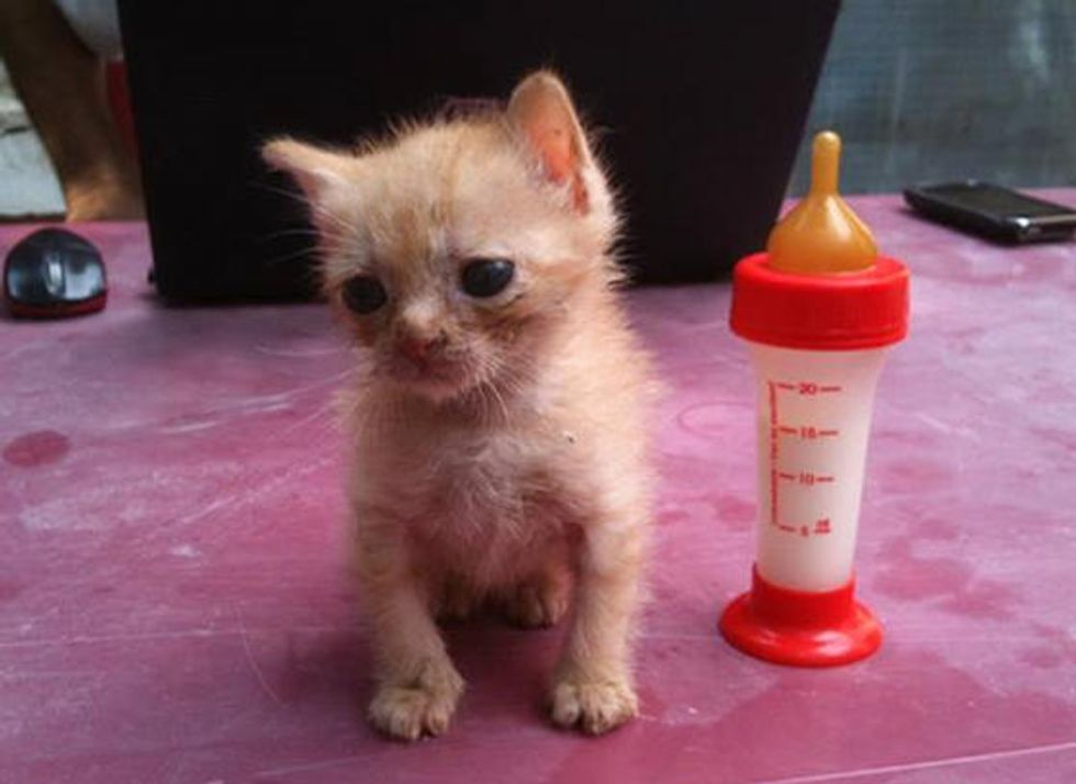 Tiny Afghan Rescue Kitten Golum