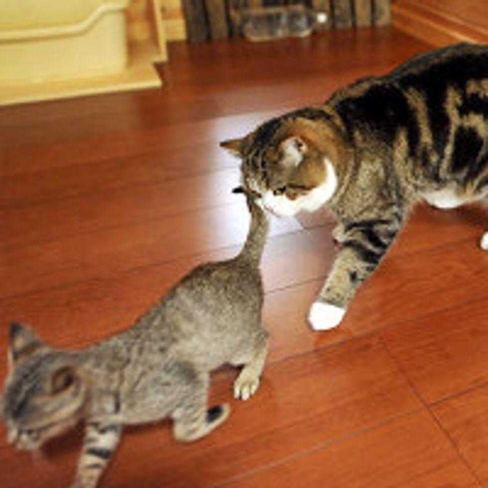 Maru Stalks His New Sister Cat