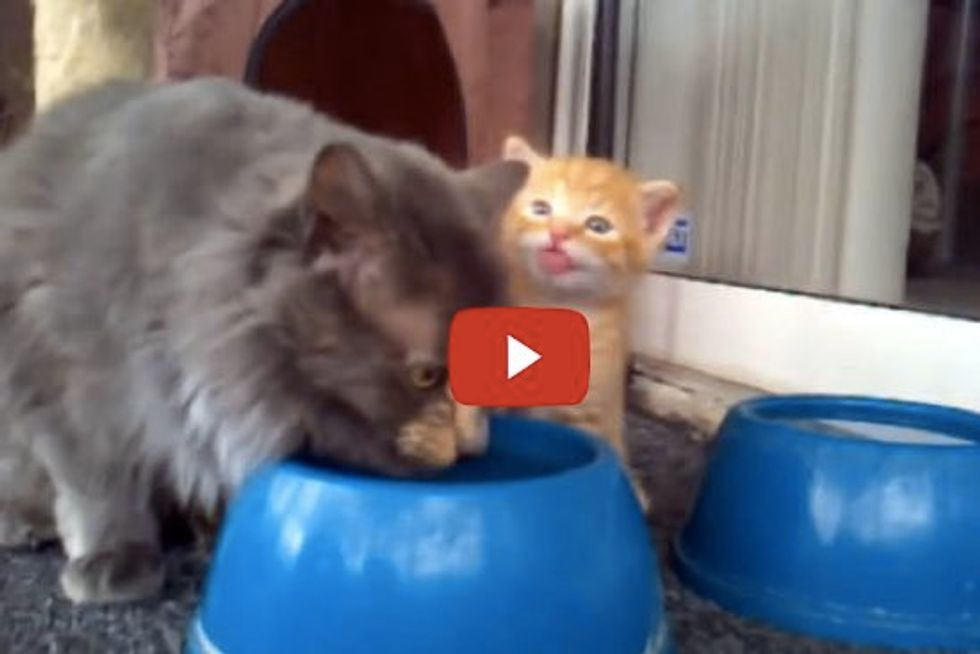 Momma Cat Teaches Baby Cat How To Drink