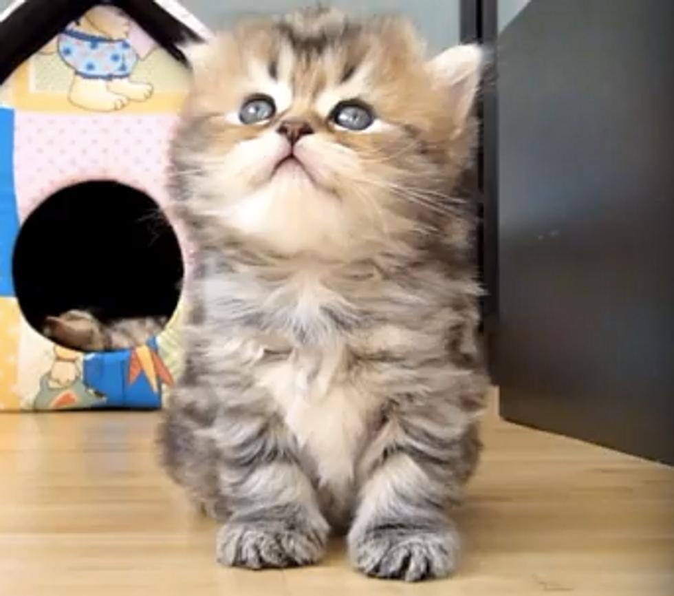 Too Cute: Panda The Girl Kitten