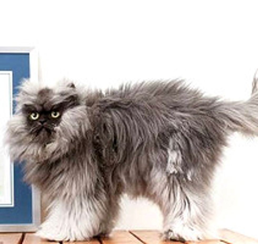 Colonel Meow - Longest Fur On A Cat! Guinness World Records