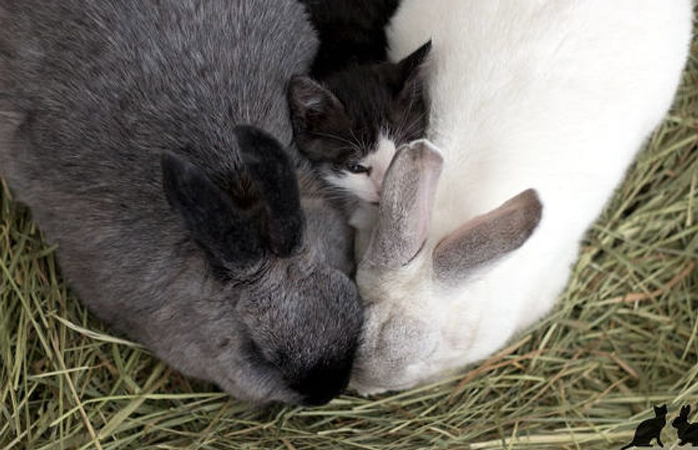 Orphan Kitten Bonds With Rabbits