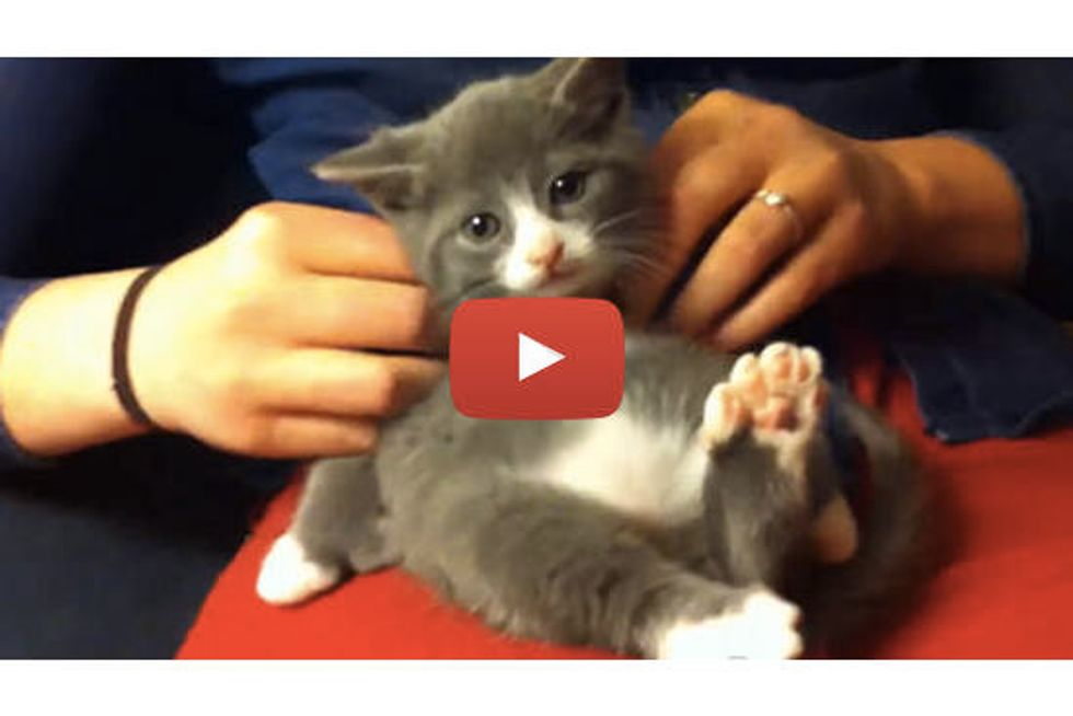 Kitten With 7 Toes Loves Massages