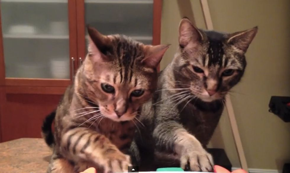 Piano Duet for Two Cats