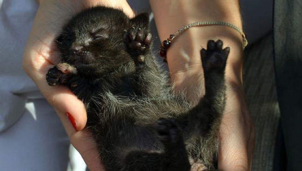 Tiny Orphaned Kitten Wailing for Mom, Journey To Forever Home