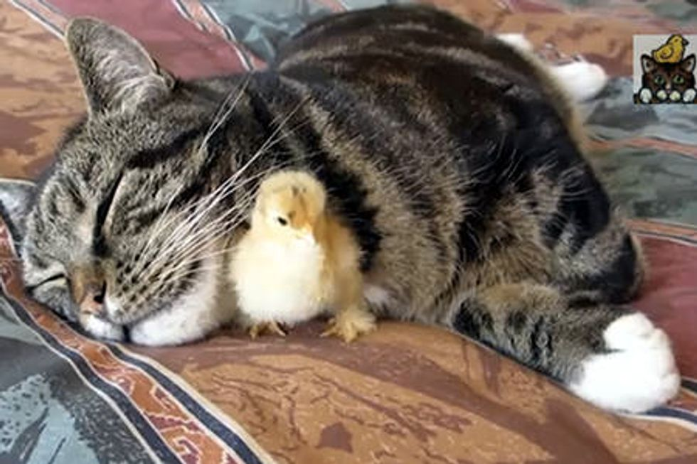 Chick Sleeps Under Cats Chin