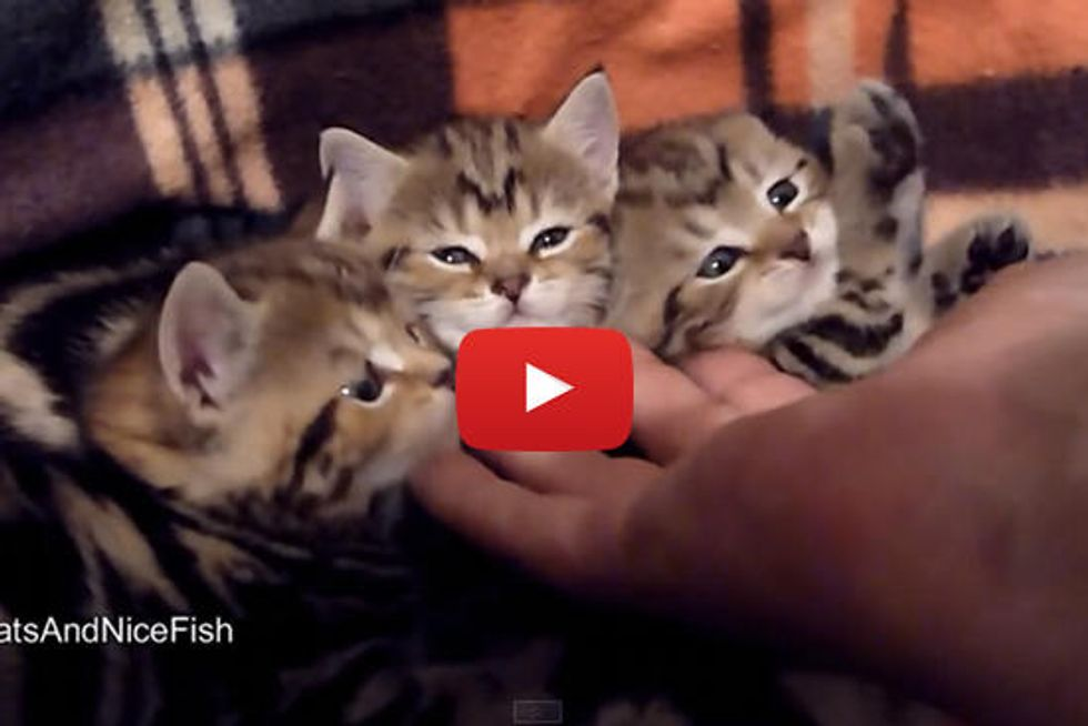 How To Pet 3 Kittens With One Hand