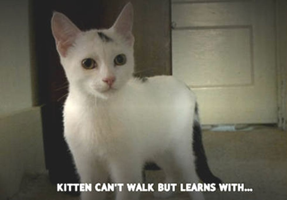 Kitten Can't Walk But Learns With A Walker - Tails of Survival