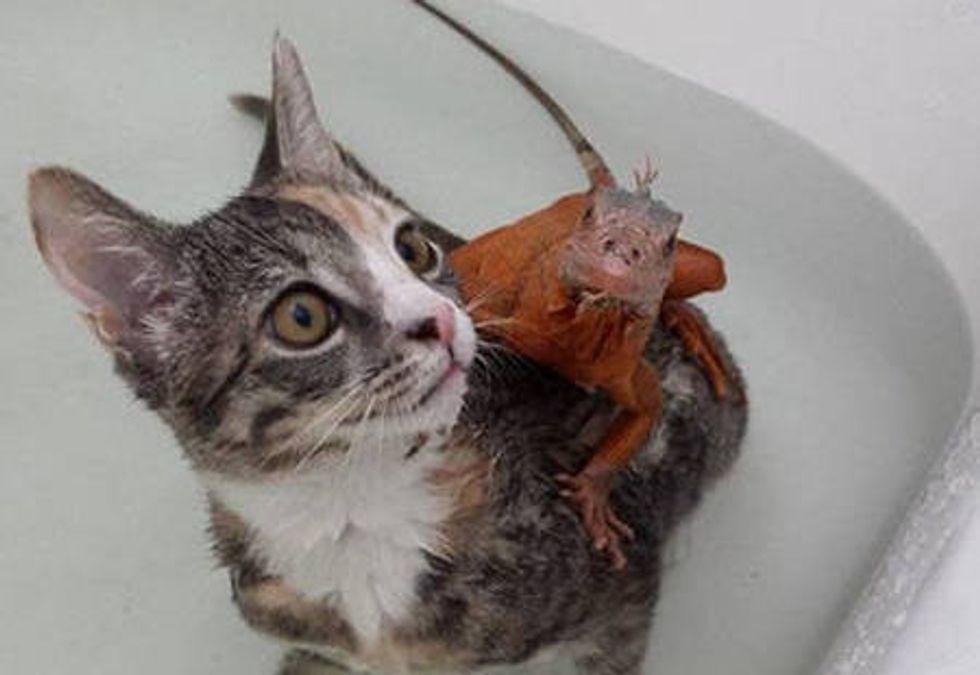 Kitten And Lizard: Unlikely Friendship
