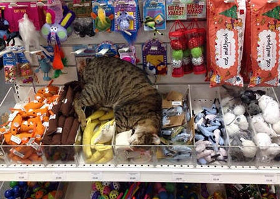 Stray Cat Wanders Into Pet Supply Store
