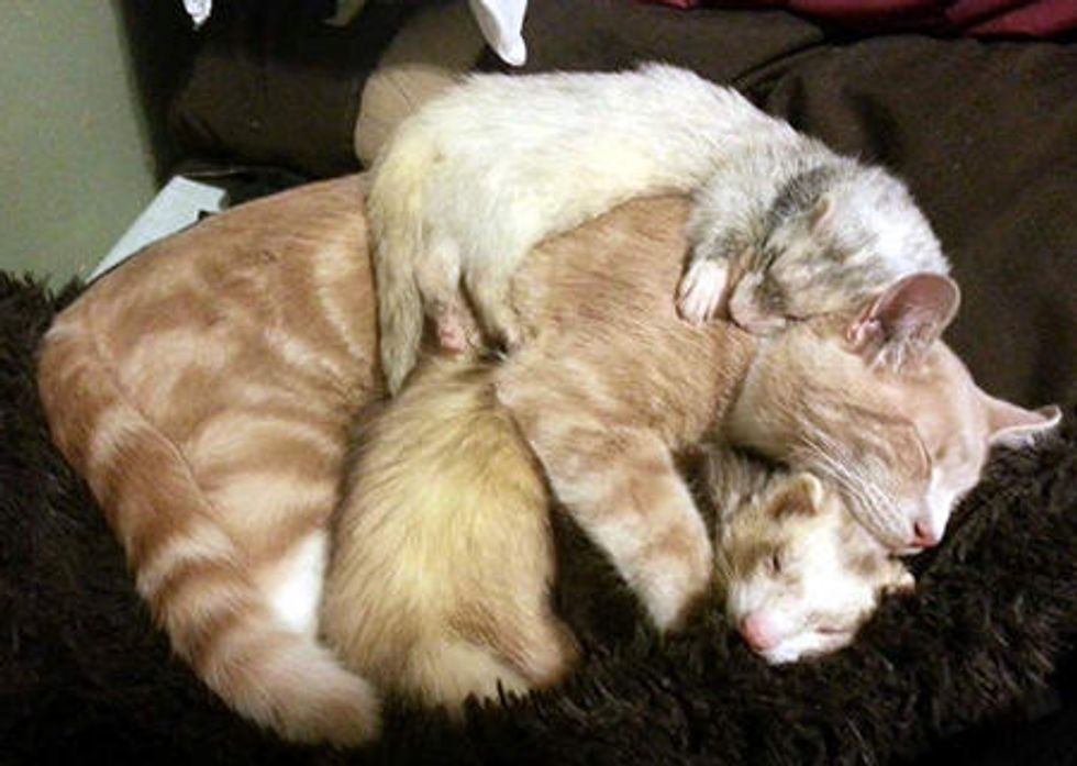 Kitty Grew Up With Ferrets