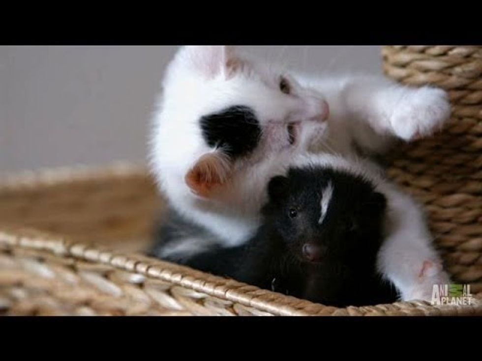 Who Knew Kittens and Skunks Made Such Good Friends? - Too Cute!