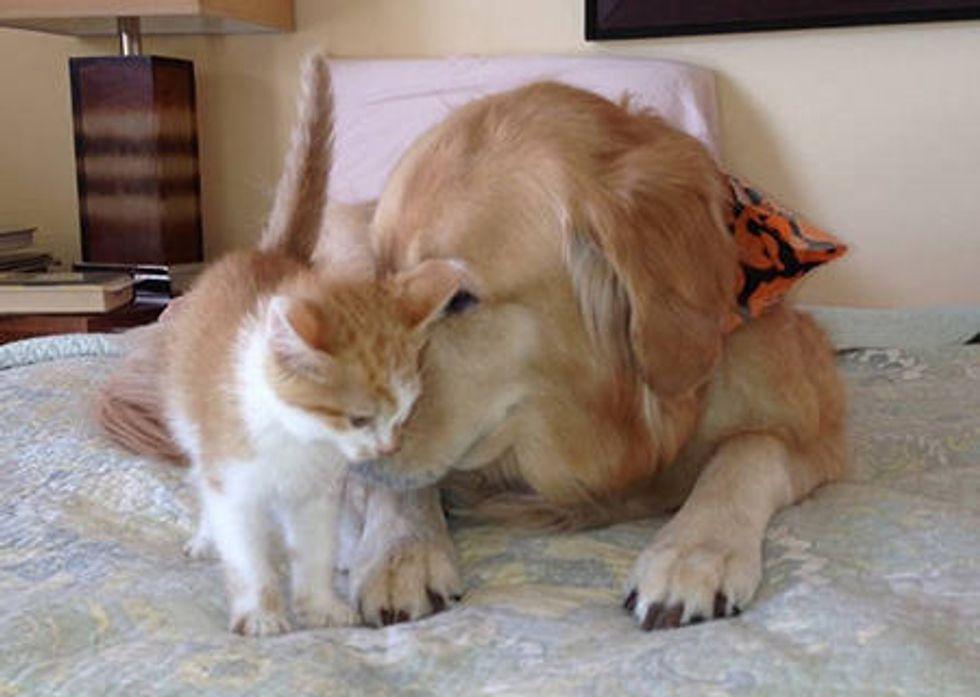 Foster Kitten And Golden Retriever - Inseparable Friends