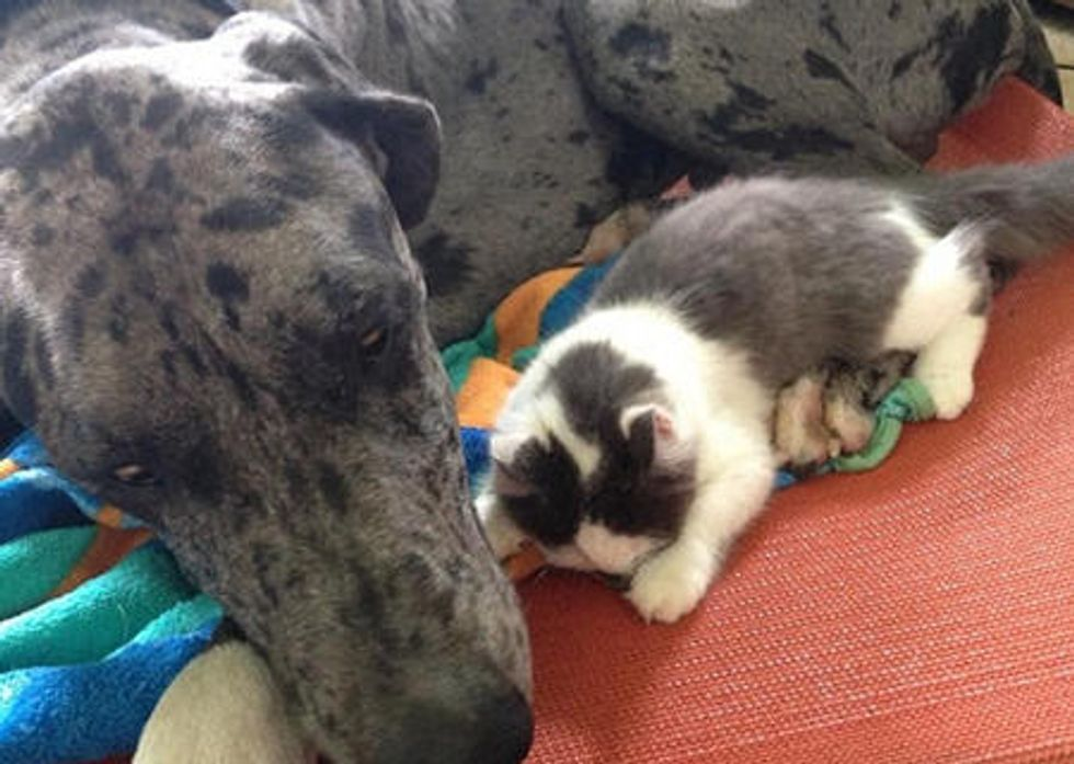 Tiny Orphan Cat Adopted By Gentle Giant Great Dane