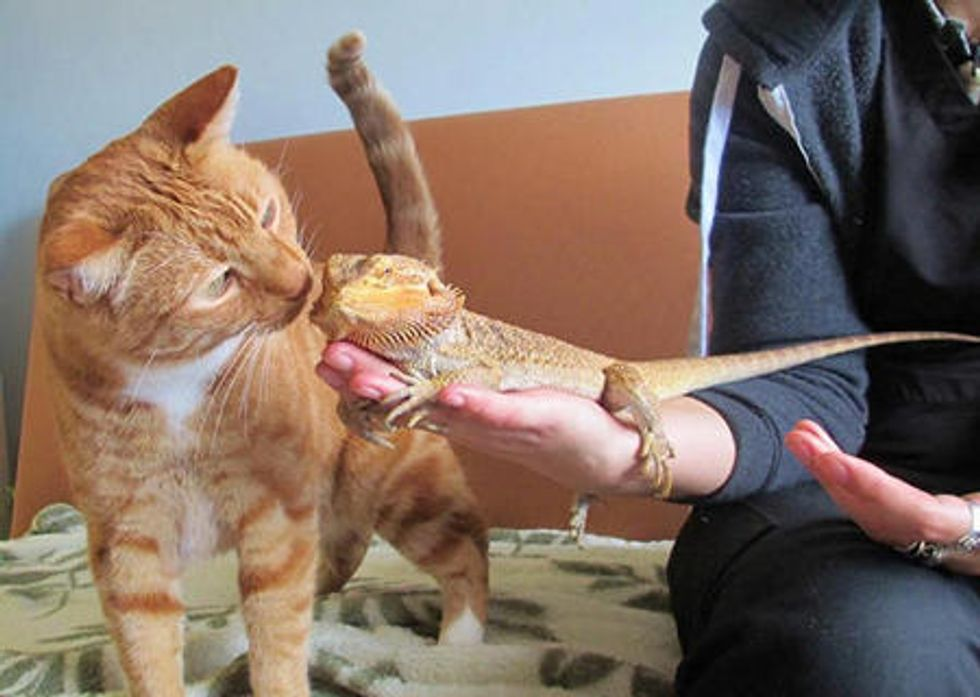 Ginger Cat Meets Bearded Dragon