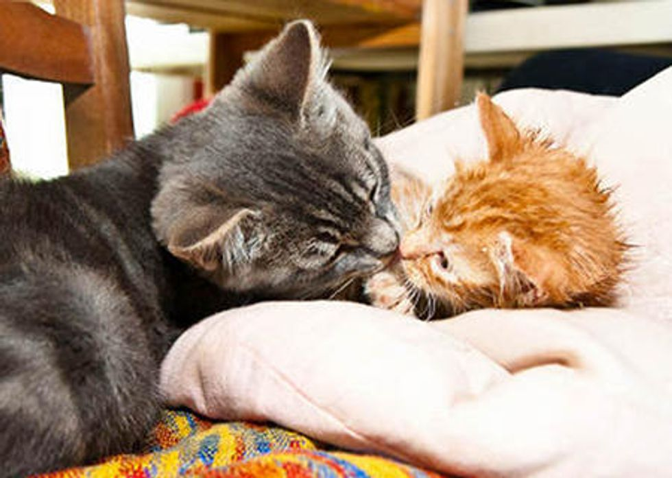 Rescue Cat Loves And Cares For Orphan Kitten