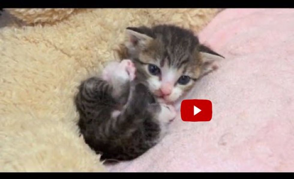 Itty Bitty Kitty Learning to Groom Herself