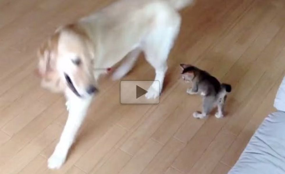 Dog Teaches Kitten to Play with a Wand Toy