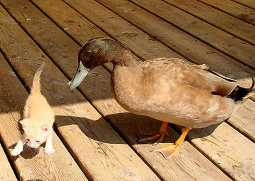 Stray Cat And Blind Duck Become Friends