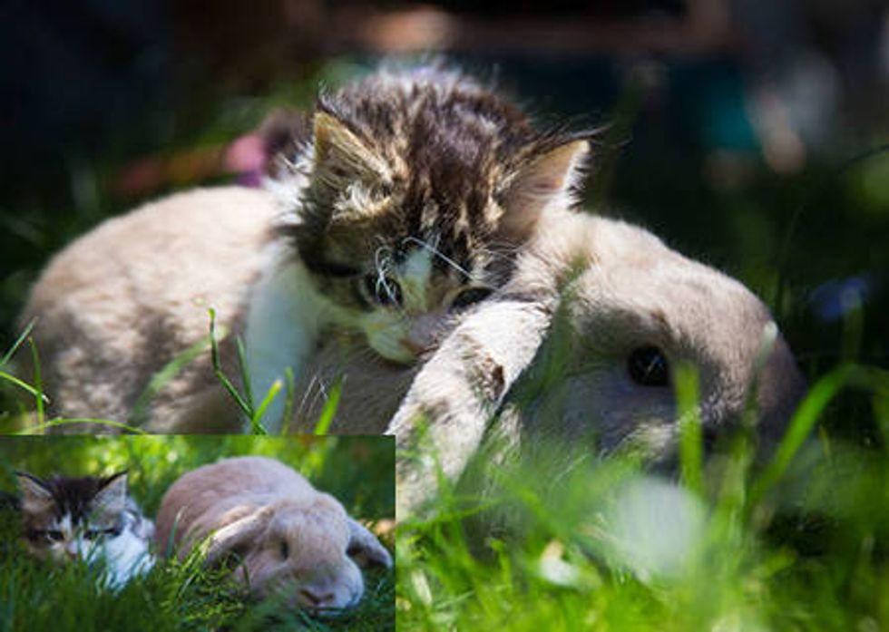 Little Foster Kitten Loves His Bunny