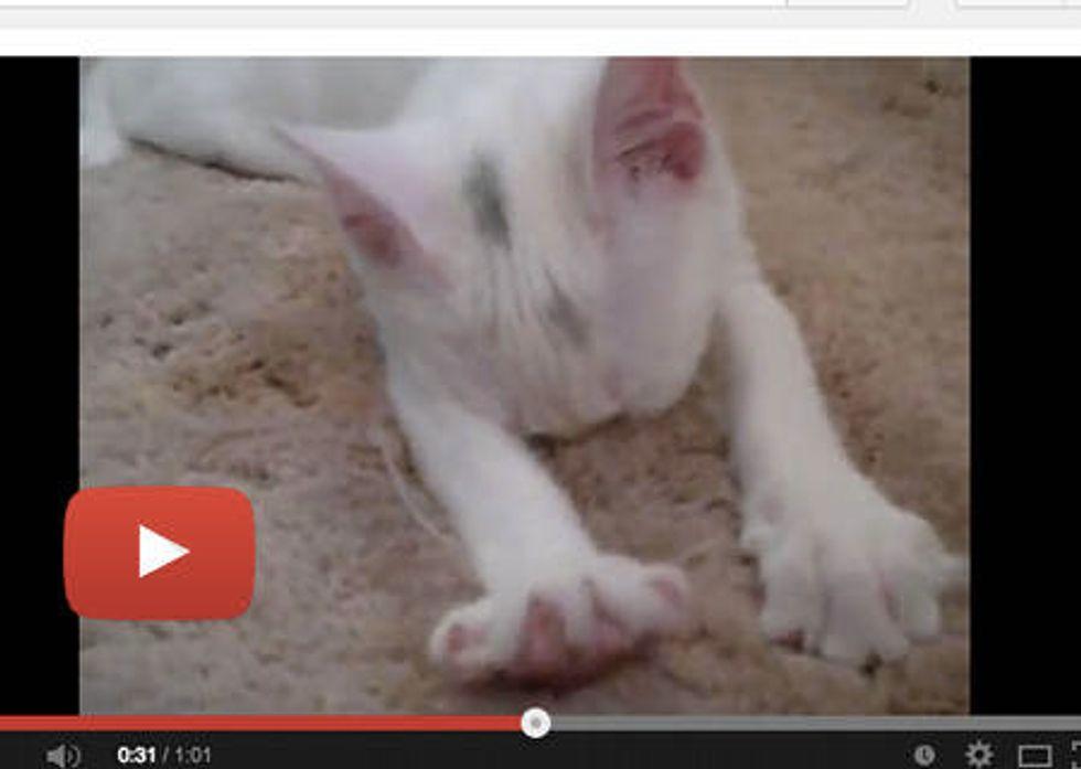 Baby Kitten Kneading