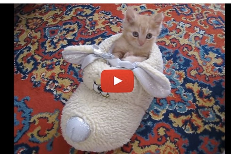 Tiny Kitten Decides to Make Fluffy Shoe His Bed
