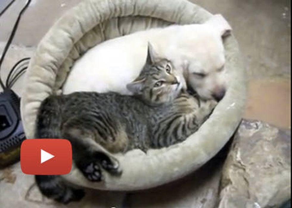 Kitten Loves Lab Puppy