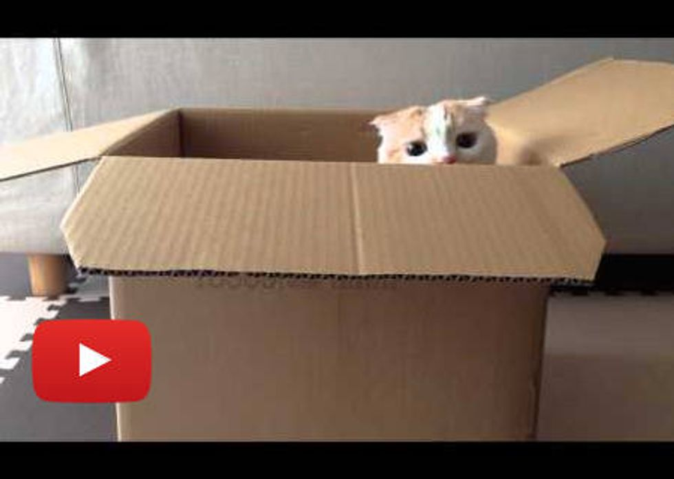 Pookke The Box Cat