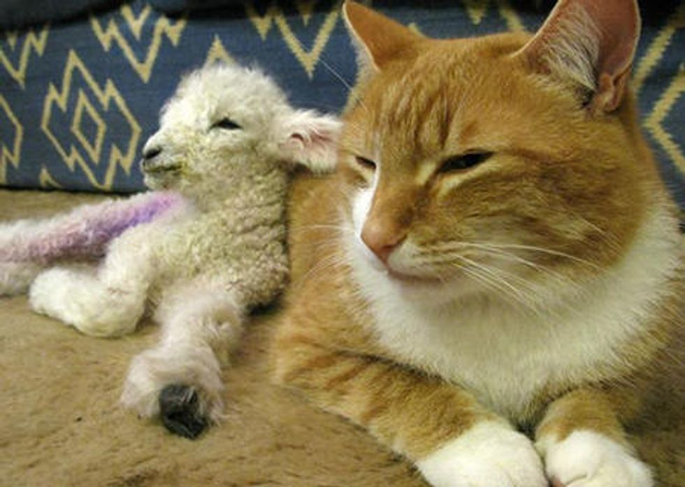 Cat Adopts Orphan Lamb