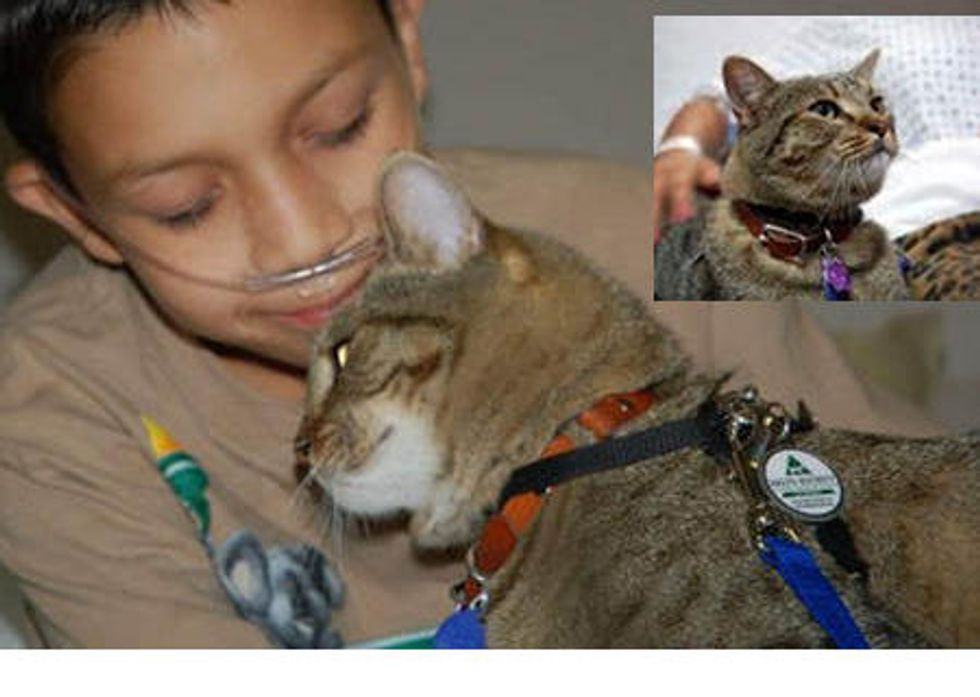 Tabby Born Feral Becomes Therapy Cat