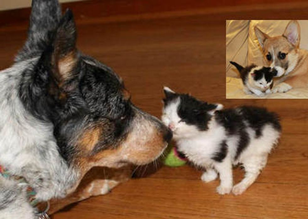 Kitten Finds Unusual Canine Parents
