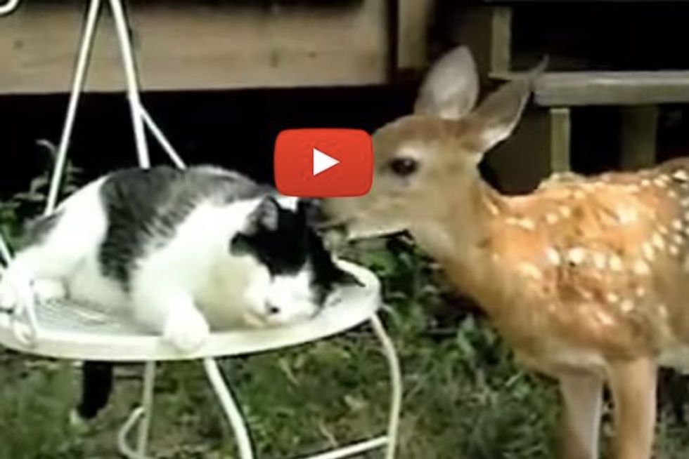 Cat Gets a Bath from a Deer Friend