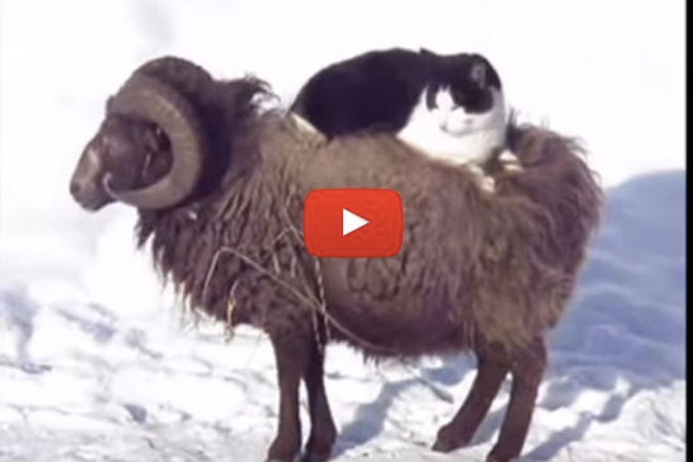 Cat And His Sheep Taxi
