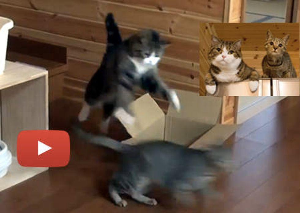 Maru And Hana Play Fighting