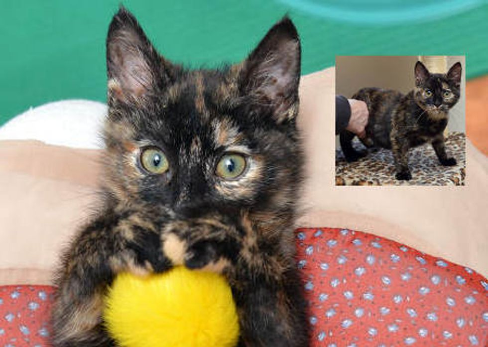 Partially Paralyzed Tortie Cat Is Determined To Walk Again